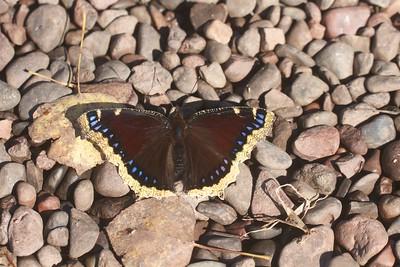 Mourning Cloak Nymphalis antiopa Skogstjarna Carlton Co MN IMG_6976