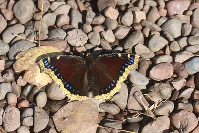 Mourning Cloak Nymphalis antiopa Skogstjarna Carlton Co MN IMG_6984