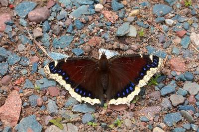 Mourning Cloak Nymphalis antiopa Skogstjarna Carlton Co MN IMG_5398 CR2