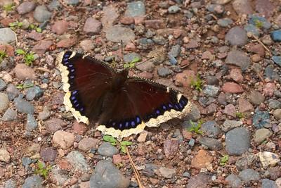 Mourning Cloak Nymphalis antiopa Skogstjarna Carlton Co MN IMG_5391 CR2