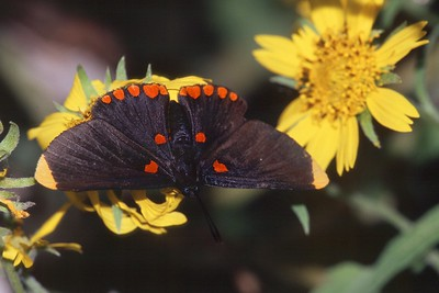 pixie Red-bordered Pixie Melanis pixe