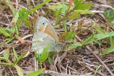ringlet Common Ringlet Coenonympha tullia Skogstjarna Carlton County MN IMG_8653