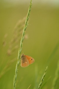Common Ringlet (Coenonympha tullia) [June 12; Salt Lake, Minnesota-South Dakota]