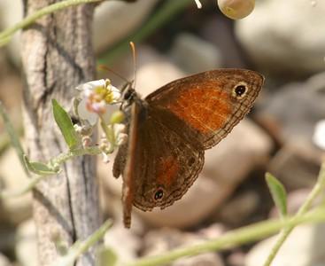 satyr Red Satyr Megisto rubricata Big Bend National Park TX 149_4966