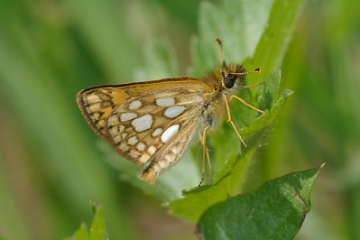 Arctic Skipper (Carterocephalus palaemon) is a northern butterfly; Circumpolar, but not restricted to the Arctic [June; Skogstjarna, Carlton County, Minnesota]