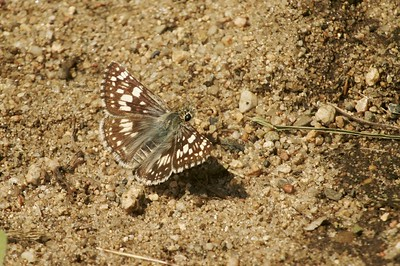 Common Checkered Skipper (Pyrgus communis) [July 1; Hubbard County, MInnesota]