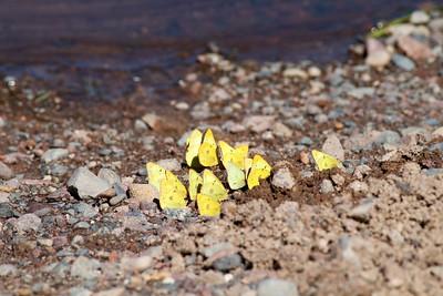 sulphur Clouded Sulphur Colias philodice Spring Lake Carlton Co MN IMG_0948
