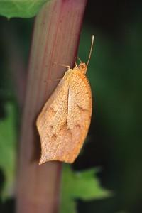 orange Tailed Orange Eurema proterpia TX