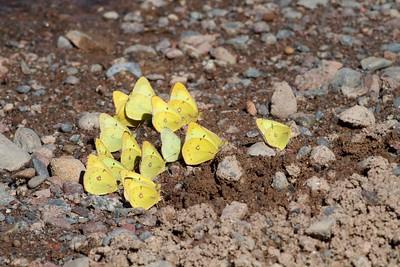 sulphur Clouded Sulphur Colias philodice Spring Lake Carlton Co MN IMG_0960