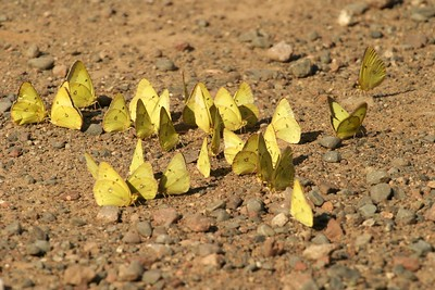 Clouded Sulphurs (Colias philodice) sometimes gather in large groups at dirt patches to take up minerals and liquid [August; Skogstjarna? Carlton County, Minnesota]