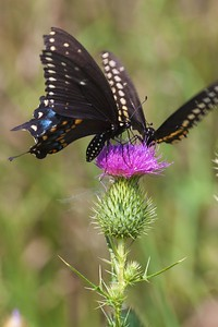 swallowtail Black Swallowtail Papilio polyxenes Galesburg IL IMG_8528 CR2