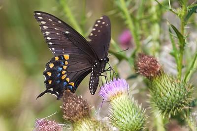 swallowtail Black Swallowtail Papilio polyxenes Galesburg IL IMG_8519 CR2