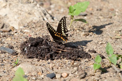 swallowtail Black Swallowtail Papilio polyxenes Galesburg IL IMG_8403 CR2