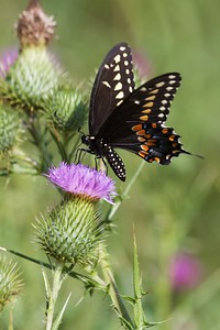 swallowtail Black Swallowtail Papilio polyxenes Galesburg IL IMG_8503 CR2