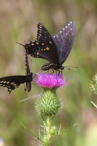 swallowtail Black Swallowtail Papilio polyxenes Galesburg IL IMG_8535 CR2