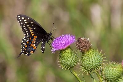 swallowtail Black Swallowtail Papilio polyxenes Galesburg IL IMG_8506 CR2