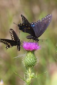 swallowtail Black Swallowtail Papilio polyxenes Galesburg IL IMG_8534 CR2