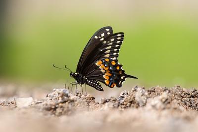 swallowtail Black Swallowtail Papilio polyxenes Galesburg IL IMG_8442 CR2