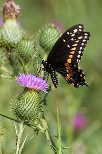 swallowtail Black Swallowtail Papilio polyxenes Galesburg IL IMG_8499 CR2