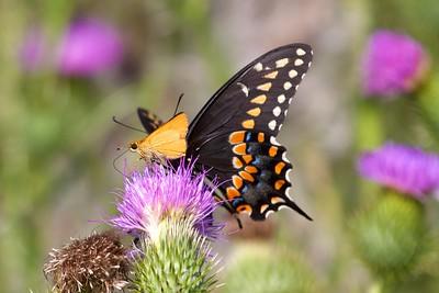 swallowtail Black Swallowtail Papilio polyxenes Galesburg IL IMG_8485 CR2