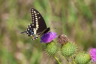 swallowtail Black Swallowtail Papilio polyxenes Galesburg IL IMG_8508 CR2