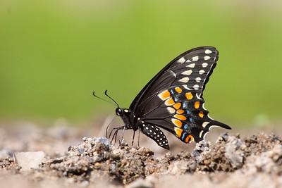 swallowtail Black Swallowtail Papilio polyxenes Galesburg IL IMG_8461 CR2