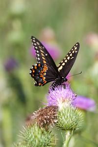 swallowtail Black Swallowtail Papilio polyxenes Galesburg IL IMG_8492 CR2