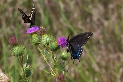 swallowtail Black Swallowtail Papilio polyxenes Galesburg IL IMG_8537 CR2
