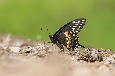 swallowtail Black Swallowtail Papilio polyxenes Galesburg IL IMG_8464 CR2