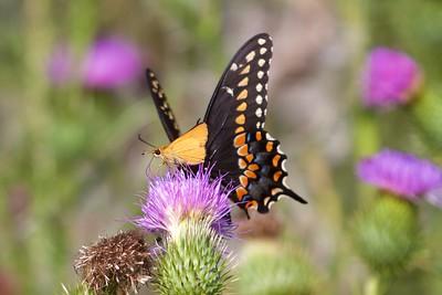 swallowtail Black Swallowtail Papilio polyxenes Galesburg IL IMG_8486 CR2