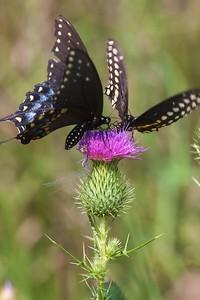 swallowtail Black Swallowtail Papilio polyxenes Galesburg IL IMG_8529 CR2