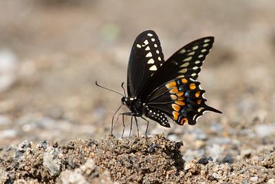 swallowtail Black Swallowtail Papilio polyxenes Galesburg IL IMG_8418 CR2