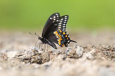 swallowtail Black Swallowtail Papilio polyxenes Galesburg IL IMG_8428 CR2