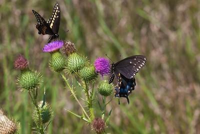 swallowtail Black Swallowtail Papilio polyxenes Galesburg IL IMG_8536 CR2