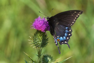 swallowtail Black Swallowtail Papilio polyxenes Galesburg IL IMG_8513 CR2