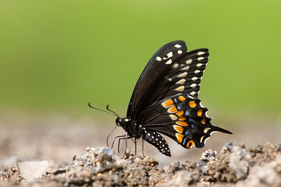 swallowtail Black Swallowtail Papilio polyxenes Galesburg IL IMG_8434 CR2