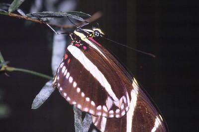 heliconia Zebra Heliconius charithonia TX