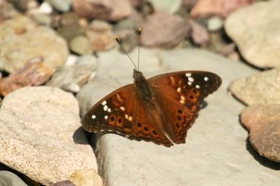 Empress Leilia Asterocampa leilia Big Bend National Park TX149_4930