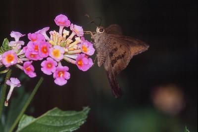 longtail Brown Longtail Urbanus procne TX