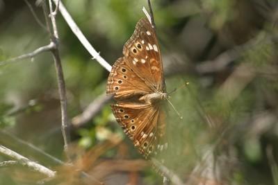 Empress Leilia Asterocampa leilia Big Bend National Park TX 149_4911