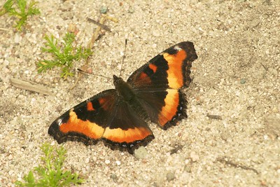 Milbert's Tortoiseshell (Nymphalis milberti) are named for an American lepidopterist from the 1820s [July; Minnesota]
