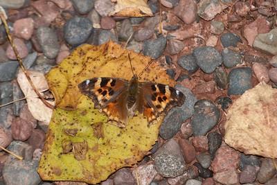 tortoiseshell Compton Tortoiseshell Skogstjarna Carlton Co MN IMG_2981 CR2