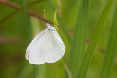 white Cabbage White Pieris rapae MN IMG_0690 CR2