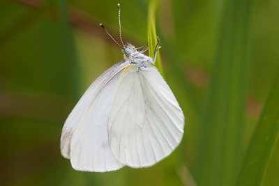 white Cabbage White Pieris rapae MN IMG_0691 CR2