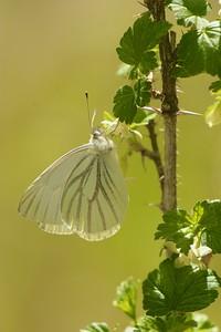 white Mustard White Pieris napi B SS Spring