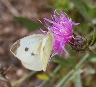 white Cabbage White Pieris rapae IMG_6586 CR2