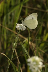 Cabbage, White  Pieris rapae B SS 530_3083