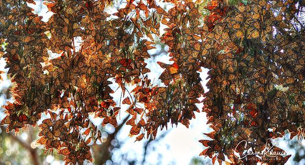 Butterflies 31