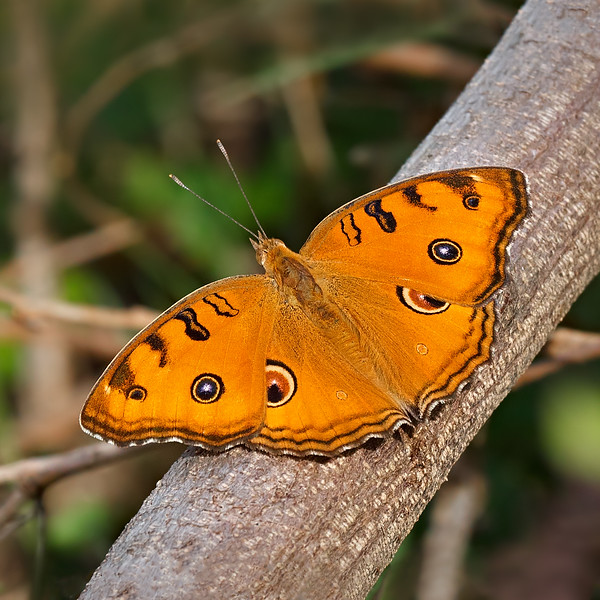 Resting - Peacock Pansy Butterfly / Отдых - бабочка Юнония павлин