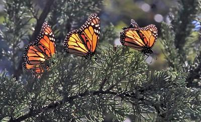 Butterflies 16